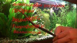 Аквариумные растения_Подрезка_Эхинодорус, гигрофила и валлиснерия