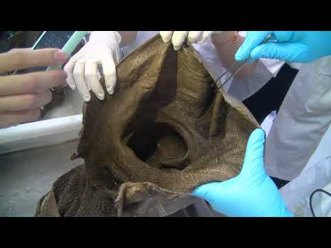 The Anatomy of Gastric in Ruminant