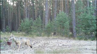 Ostatni spacer sarny, dobry obiad wilka