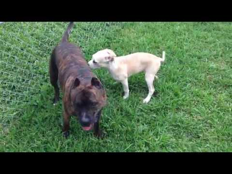guy puts pitbull puppy over the fence !!!