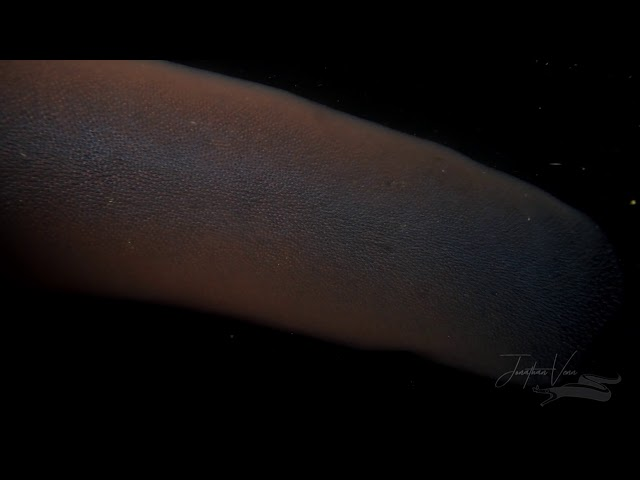 3-meter Pyrosome in Anilao Philippines on a Blackwater Dive, in Anilao, Philippines