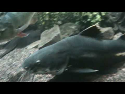 Ripsaw Catfish (Psuedodoras Niger) @ Tropiquatics! 7/11/2013 from YouTube · High Definition · Duration:  32 seconds  · 539 views · uploaded on 7/11/2013 · uploaded by Tropiquatics