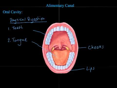 Digestive System  Introduction and Alimentary Canal  Final- PlayPosit