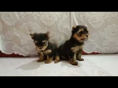 9212 501 257 Yorkshire Terrier male and female dog puppies for sale in Delhi Dwarka petshop dog kenn