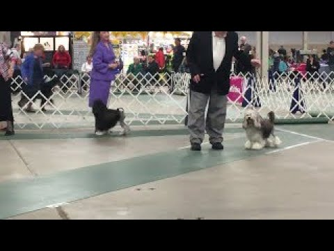 2017 03 18 IMG 4407 Kentuckiana Cluster Lowchen National Best in Breed No 31