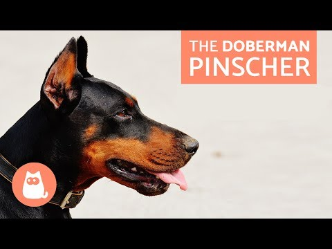 All About the Doberman Pinscher - Traits and Training
