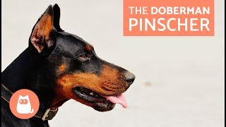 All About the Doberman Pinscher  Traits and Training