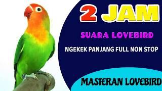 2 JAM MELATIH LOVEBIRD NGEKEK PANJANG FULL uh buat masteran LB paud