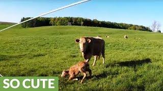 Motorists Films Newborn Calf's Wobbly First Moments