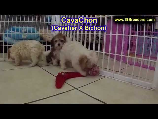 CavaChon, Puppies, For, Sale, In, South Bend, Indiana, County, IN, Allen, Hamilton, St  Joseph, Vand