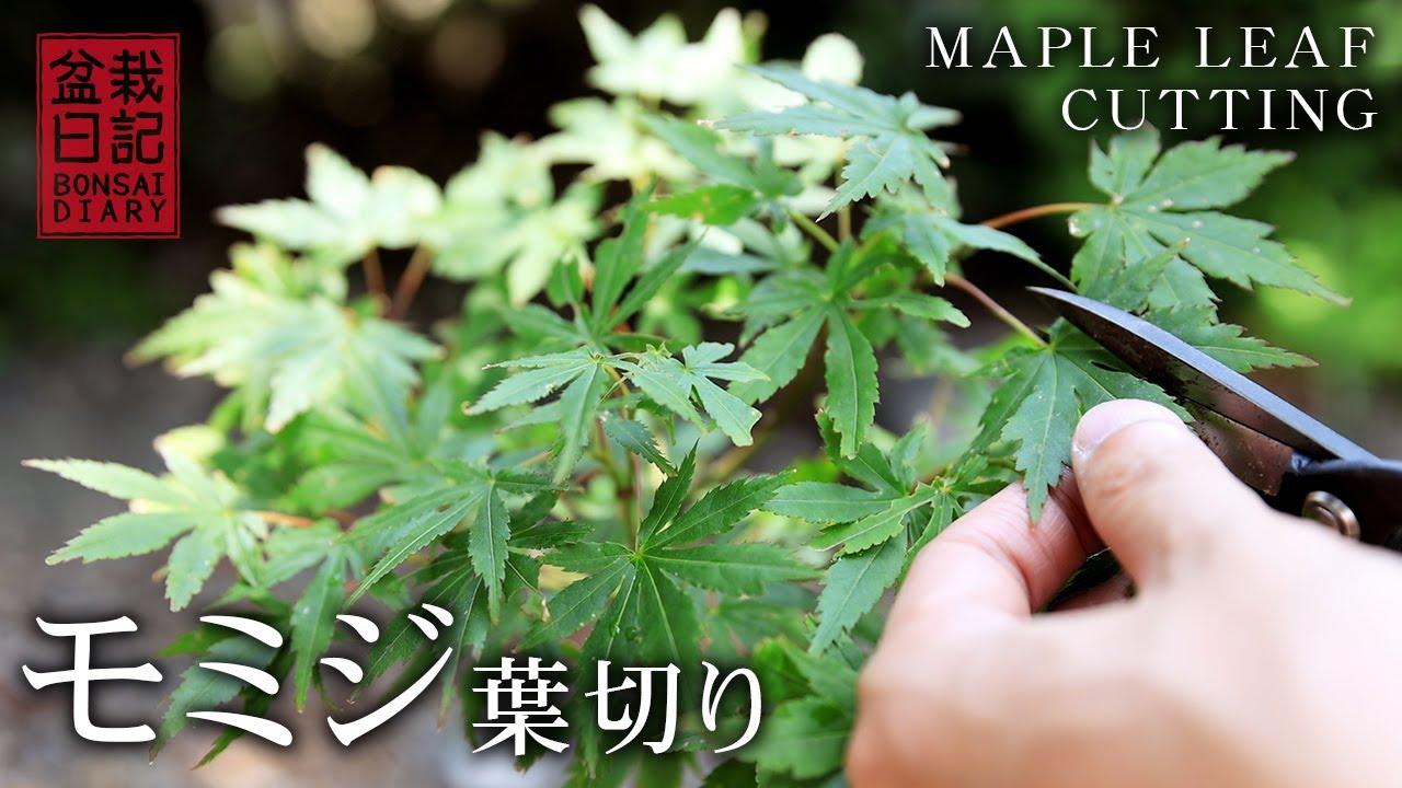 モミジの葉切り 【Bonsai diary 盆栽日記 6/6】初心者の簡単盆栽の作り方 育て方 もみじ 剪定 pruning maple bonsai Beginner EOS R5 撮影