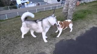 Hana Vs Coo Round 4, Siberian Husky Hana Iii Is Cute Dog