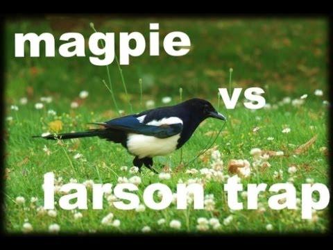 magpie V trap