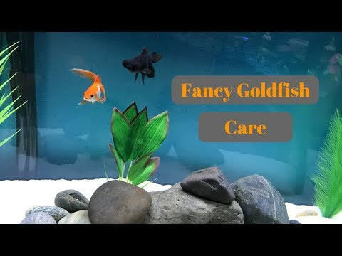 How To Care For Fancy Goldfish