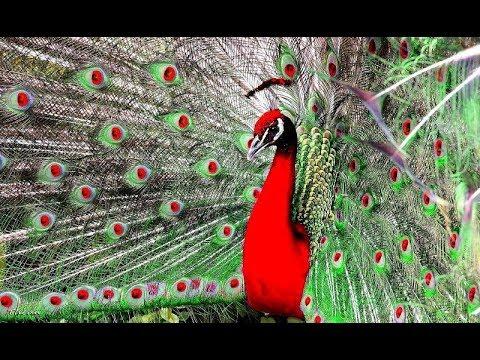 Khổng Tước - Loài Chim To Lớn Xinh đẹp Và Dài Nhất Còn Tồn Tại Trên Thế Giới