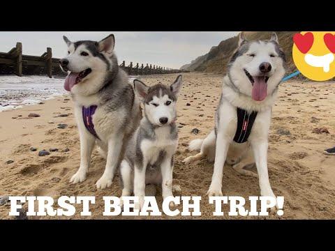 Husky Puppies First Beach Trip!!