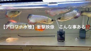 【アロワナ水槽】飼育魚同士のこれがキツい 衝撃映像