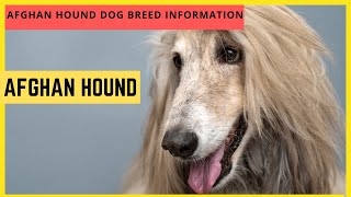Afghan Hound Dog Breed Information And Personality