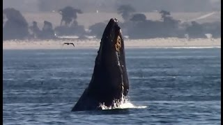 10.9.15 Humpback Whales & Common Dolphins #Monterey #Travel #Adventure