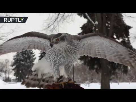 Meet feathered Kremlin guards: Birds of prey keep watch over Red Square