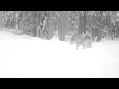 Gray wolf captured on remote camera in Washington State