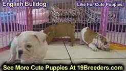 English Bulldog, Puppies, Dogs, For Sale, In Jacksonville, Florida, FL, 19Breeders, Orlando