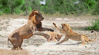 Video Mother Lion Protect Her Cub From Male Lion Hunting   Lion Hunting Fail download MP3, 3GP, MP4, WEBM, AVI, FLV Agustus 2018