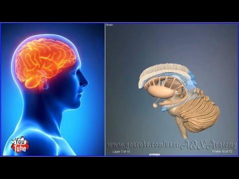 Продолговатый мозг - это... Что такое Продолговатый мозг?