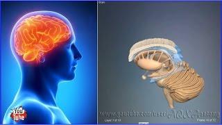 Скачать Cтроение головного мозга 3D Анатомия человека Внутренние органы