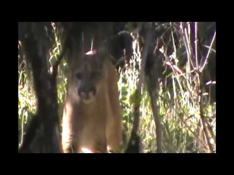Being Stalked By A Cougar Mountain Lion Encounter