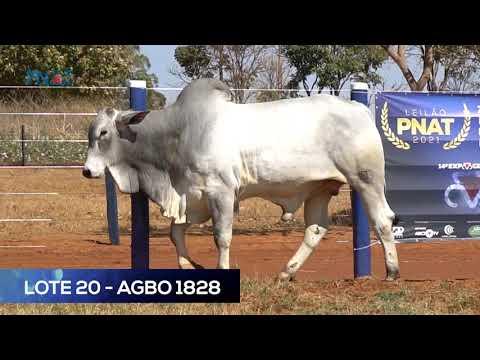 LOTE 20 - AGBO1828 - NELORE