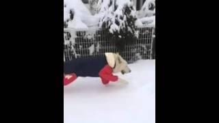 雪に喜ぶオスカー‼   カッパ着てます。