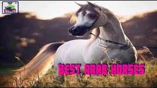 Most beautiful Arabian horses in the world... اجمل الخيول العربيه في العالم