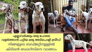Dalmatian Dogs|കുറഞ്ഞ വിലയിൽ മികച്ച ഡോഗ്സിനെ നോക്കുന്നുണ്ടോ?|Dalmatian Kerala|Dogs Malayalam