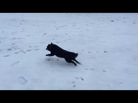 Schipperke Balto crazy walk