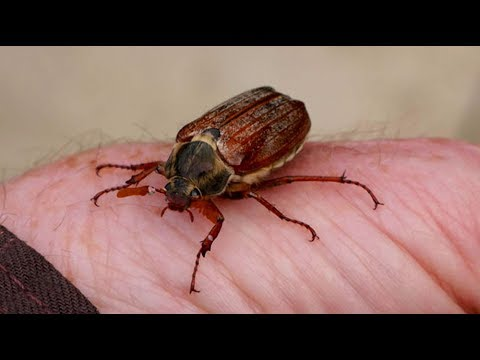 Giant Flying Beetle up close