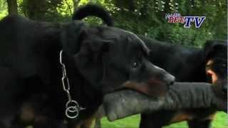 Rottweiler: Informationen Zur Rasse