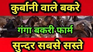 Big Sirohi goat sale part 2 | kurbani goat | Sirohi goat | goat Farming| Bakri palan