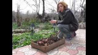 видео Канна посадка и уход в открытом грунте размножение зимовка
