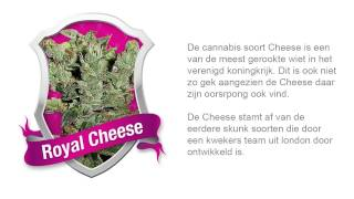 Royal Cheese  *Royal Queen Seeds*