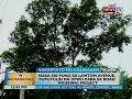 BT: Nasa 500 puno sa Lawton Avenue, puputulin ng DPWH para sa road widening project