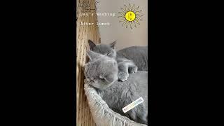Сладкие сны британских котят.