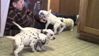 Dalmatian Puppies For Sale 3 3 14
