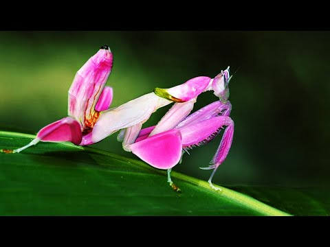 10 Most Beautiful Praying Mantises In The World