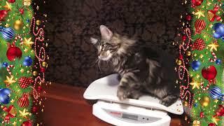 ЛИРИКУМ Жень-Шень 3,5 месяца,  взвешивание крупного котенка мейн-кун