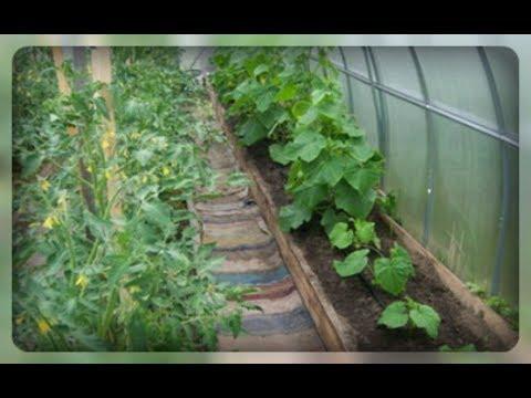 Помидоры и огурцы в теплице. Можно ли их выращивать вместе?!! | совместимость | вырастить | теплицы | теплице | томаты | соседи | огурцы | овощей | вместе | овощи
