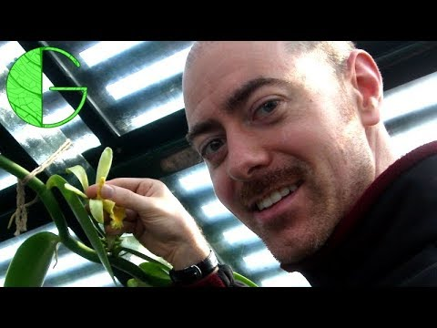 How to pollinate Vanilla planifolia, step by step