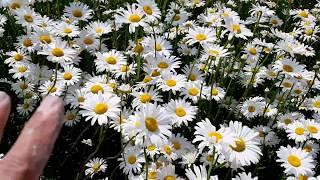 서산 샤스타데이지 꽃밭 전국 최대만개 태안,안면도 여행…
