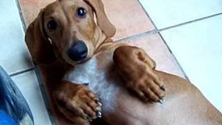 Perro Salchicha (canelo)