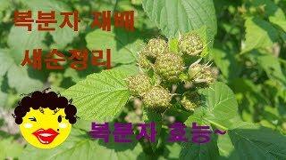복분자재배방법 복분자 효능
